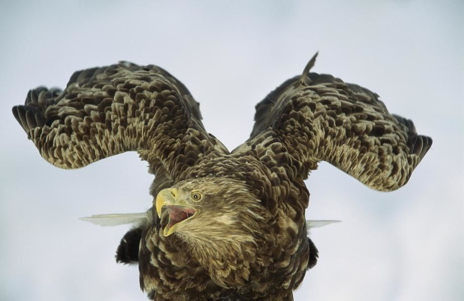 Portrait of an endangered white-tailed sea eagle in Ransu, Hokkaido Island. Japan. [Photo of the day - October 2011]