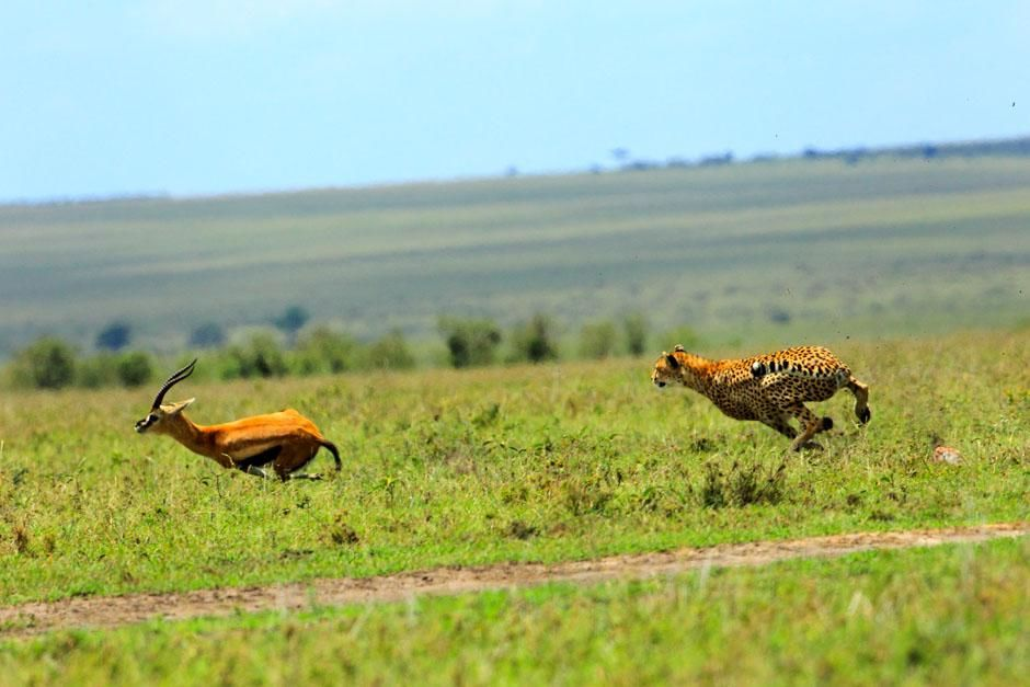 Serengeti/Massai Mara - Cheetahs are the fastest land animals but gazelles are very agile. This i... [Photo of the day - March 2013]