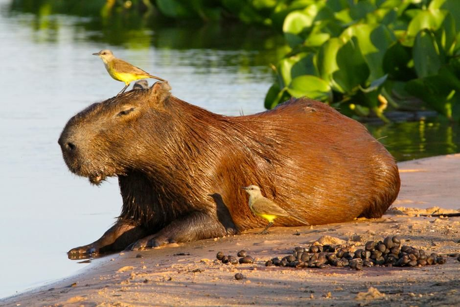 Pantanal, Brazil: A capybara, the largest rodent in the world. This image is from World's... [Foto del día - marzo 2013]