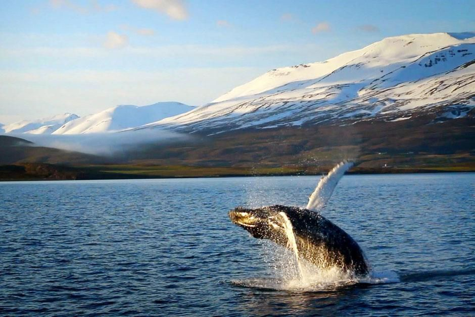 Iceland: A humpback whale breaches in a fjord. This image is from Alien Deep. [Photo of the day - March 2013]