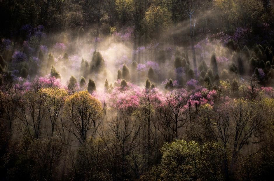 Misty View of a forested hillside with trees in bloom, Virginia. USA. [Photo of the day - November, 2011]