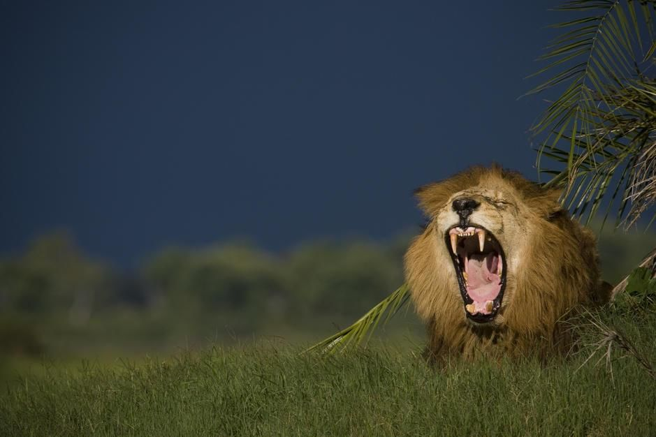 African lion yawning while near a palm in Duba Plains, Okavango Delta. Botswana. [Fotografija dneva - november 2011]