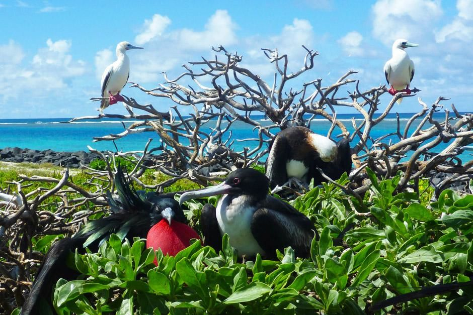 French Frigate Shoals, Hawaii, United States: Frigatebird share perching space with other... [Photo of the day - آوریل 2013]