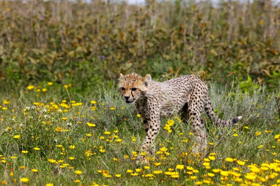 Serengeti/Massai Mara, Africa: This little cheetah is a few months old having already survived... [Photo of the day - April 2013]