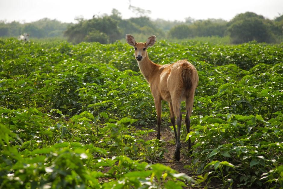 Brazil: A marsh deer. This image is from Secret Brazil. [Photo of the day - آوریل 2013]