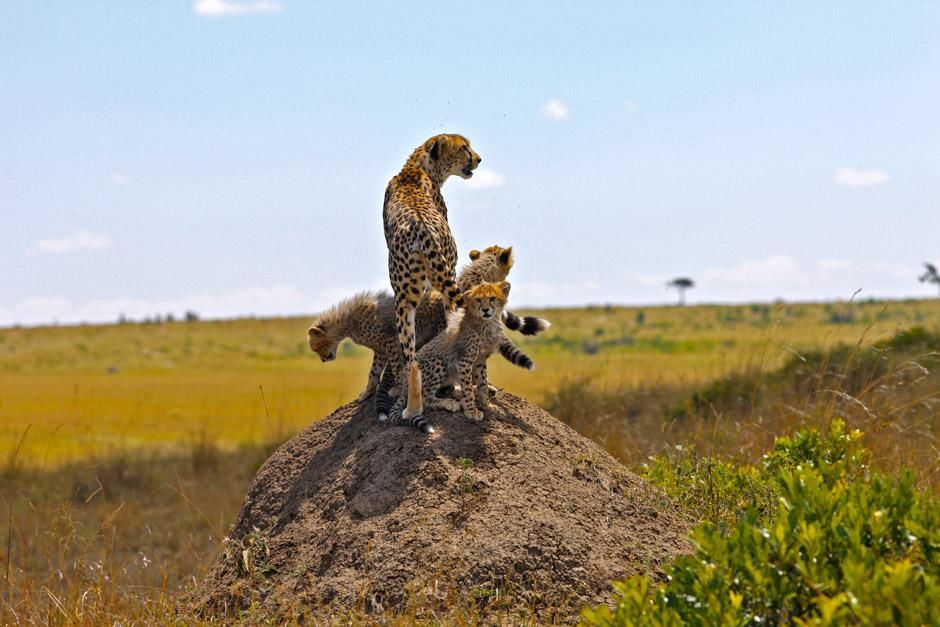 Serengeti/Massai Mara, Africa: A young cheetah with her four cubs. They are born blind and... [Photo of the day - آوریل 2013]