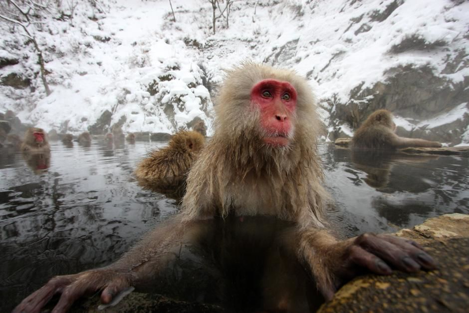 Japan: Japanese macaques (Macaca fuscata) are the only monkeys in the world to enjoy the hot... [Photo of the day - آوریل 2013]