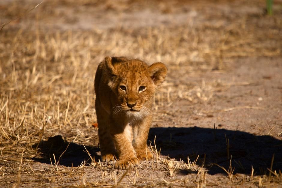 Africa: Lion cubs face many dangers -- even from their own species. When males take over a... [Photo of the day - آوریل 2013]