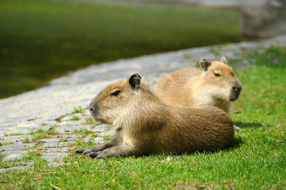 Berlin, Germany: Two young Capybara. This family series discovers what it takes to be a zoo baby... [Photo of the day - آوریل 2013]