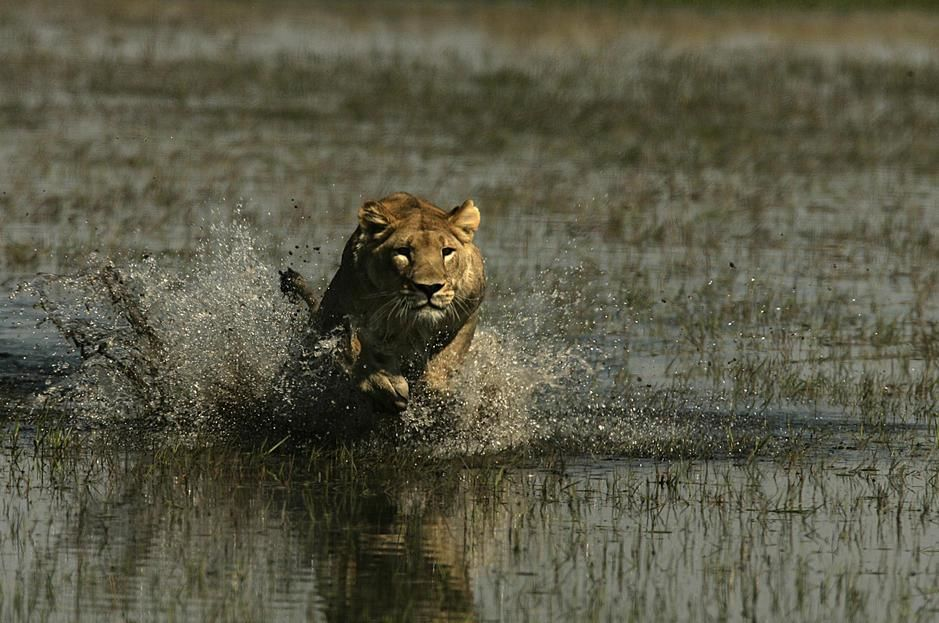 Un lion africain charge à travers une prairie inondée du delta de l'Okavango. Botswana. [Photo of the day - novembre 2011]