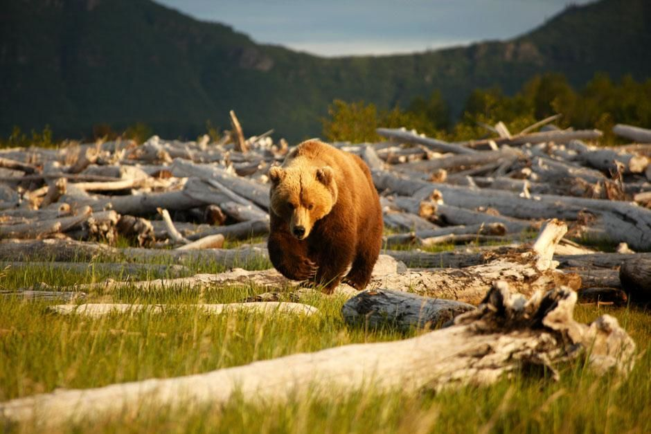 Alaskan Peninsula, USA: A bear walks down to graze after coming down from the bluff.  This image ... [תמונת היום - מאי 2013]