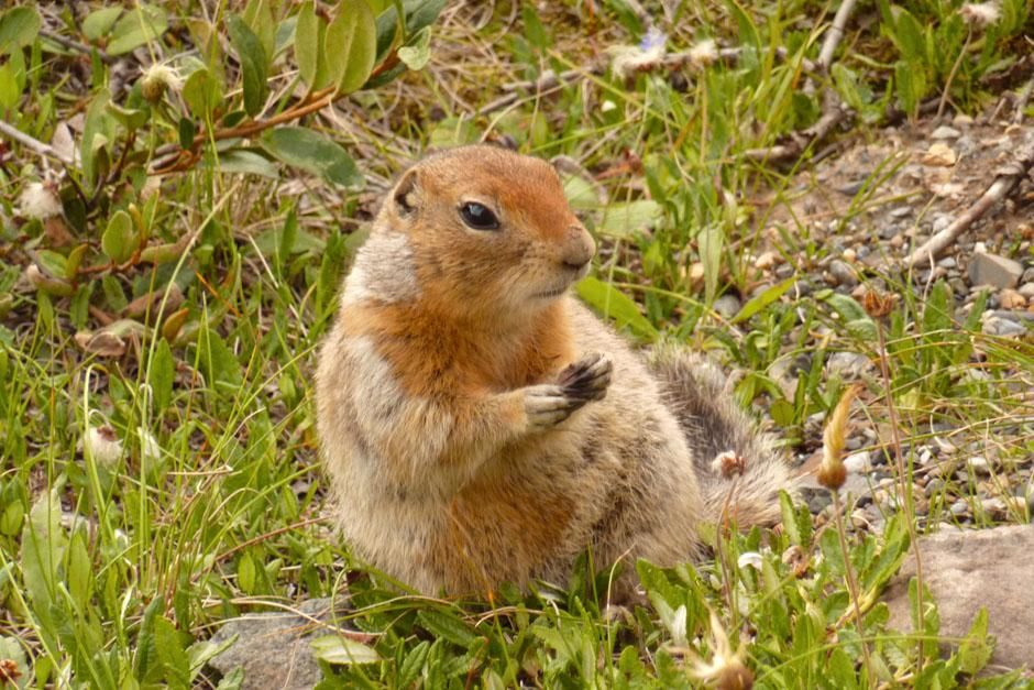 Denali National Park, Alaska, USA: An Artic ground squirrel fattens up for the winter in Denali N... [  -  2013]