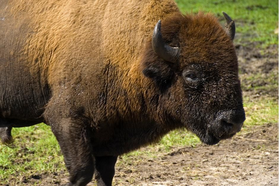 Clewiston, FL  USA: American bison at Billie Swamp Safari. This image is from Swamp Men. [  -  2013]