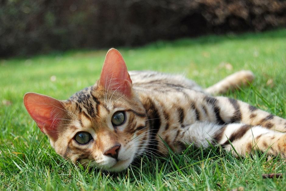 A bengal cat. The cat family varies in size from a small house-cat to a lion, but they share many... [عکس روز - می 2013]