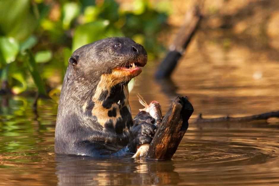 Giant river otters.  This image is from Secret Brazil. [  -  2013]