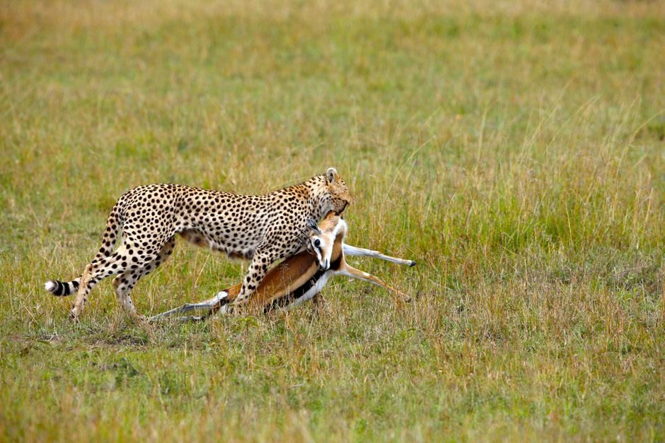 Serengeti/Massai Mara: Female cheetahs hunt gazelles most of the time. Only cheetah brothers who ... [Dagens billede - maj 2013]