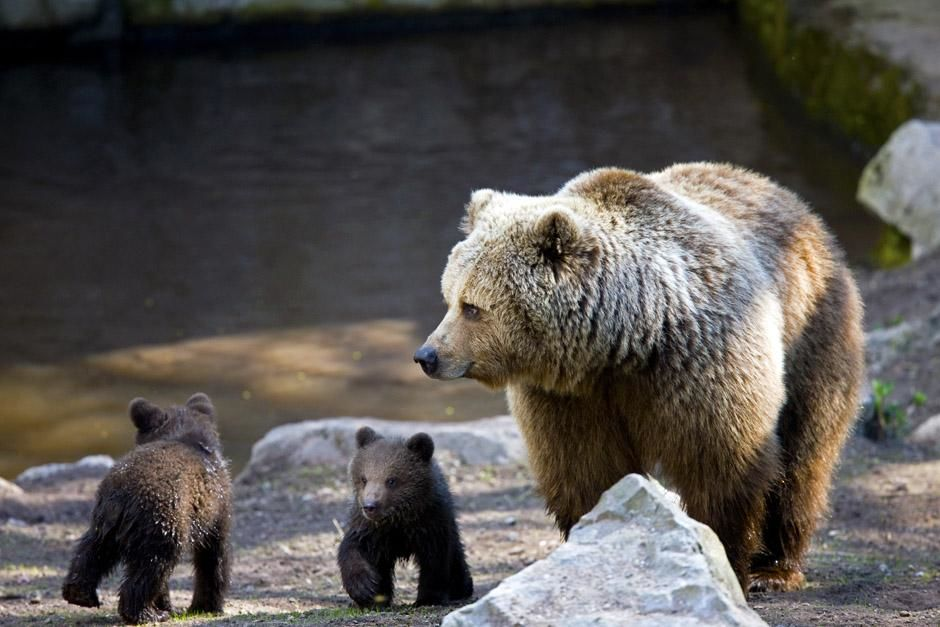 Brown bear with cubs  (Ursus arctos). This image is from Built For The Kill. [Dagens billede - maj 2013]