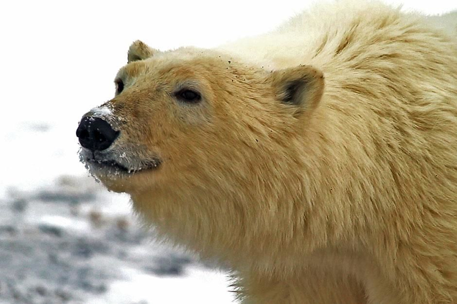 Polar bear close up. This image is from Born To Explore. [  -  2013]
