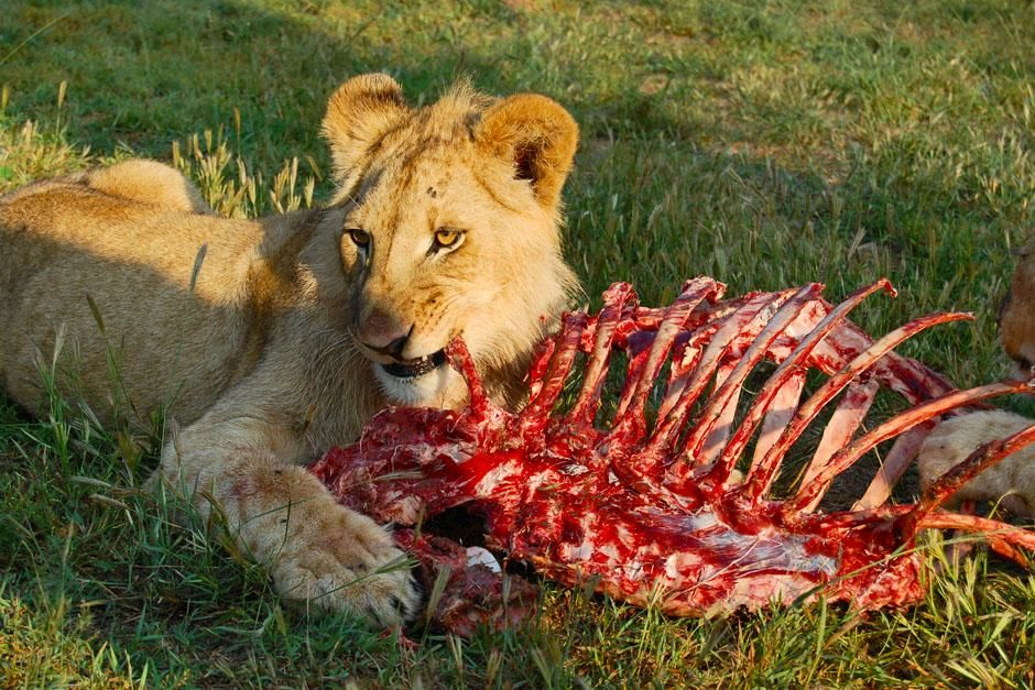 Juvenile male lion eating carcass. This image is from In the Womb: Cats. [תמונת היום - מאי 2013]