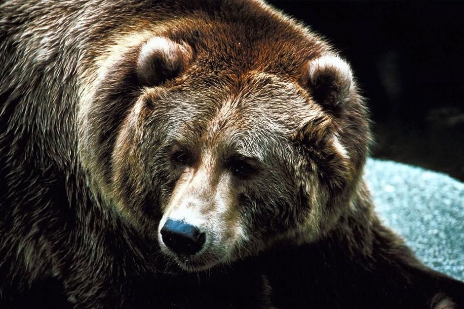 Brown bear. This image is from Hunter Hunted. [תמונת היום - מאי 2013]