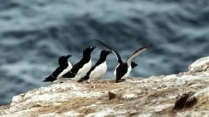 Little auks by the seaside. This imag... [Dagens billede - 16 MAJ 2013]