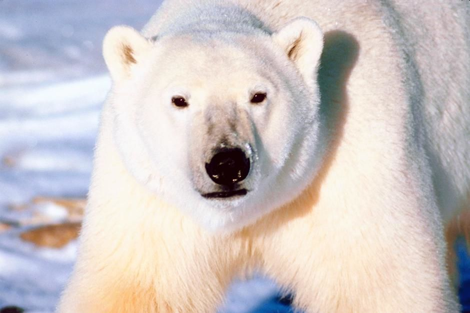 A polar bear in a snowfield. This image is from Planet Carnivore. [תמונת היום - מאי 2013]