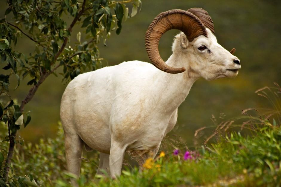 Denali National Park, Alaska, USA: A dall sheep grazes along a hillside near Polychrome Pass in D... [Dagens billede - maj 2013]
