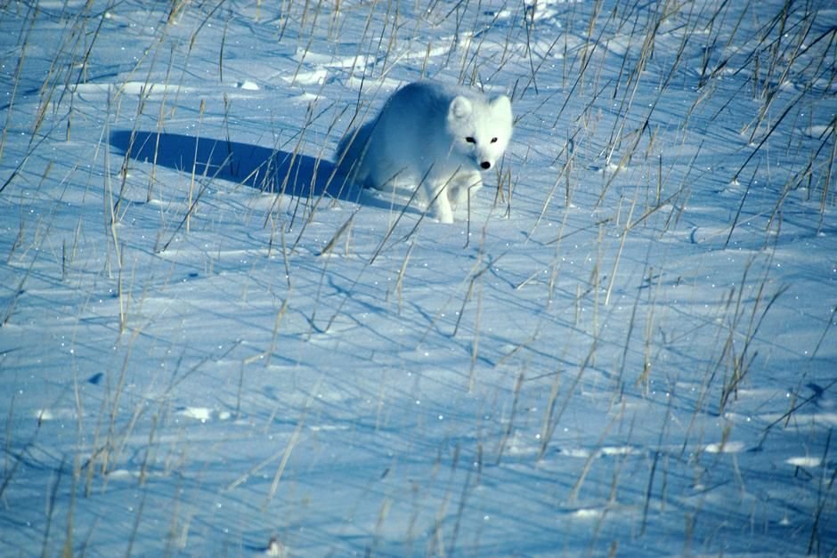 A polar fox runs across the snow. This image is from Planet Carnivore. [Dagens billede - maj 2013]