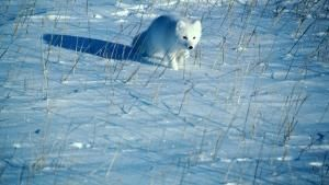 A polar fox runs across the snow. Thi... [Dagens billede - 21 MAJ 2013]