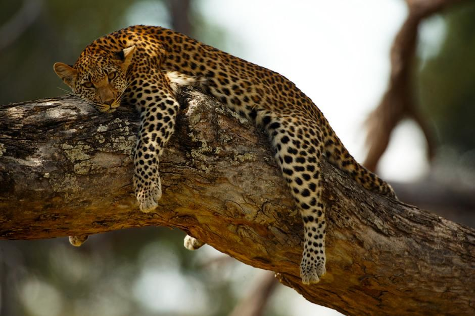 Mombo in the Okavango Delta in Botswana: Legadema a female cub resting in an acacia tree but cons... [Dagens billede - maj 2013]
