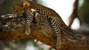 Mombo in the Okavango Delta in Botswana: Legadema a female cub resting in an acacia tree but cons... Dagens billede - 22 maj 2013
