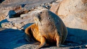 A walrus. This image is from Ice Bear. [Dagens billede - 23 MAJ 2013]