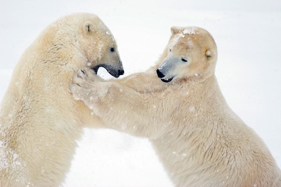 Churchill, Manitoba, Canada: Two male polar bears spar or play fight on fresh snow. This image is... [Dagens billede - maj 2013]