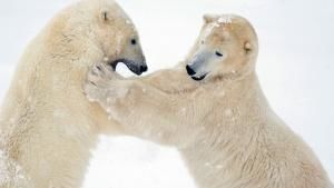 Churchill, Manitoba, Canada: Two male polar bears spar or play fight on fresh snow. This image is... عکس روز - 24 می 2013