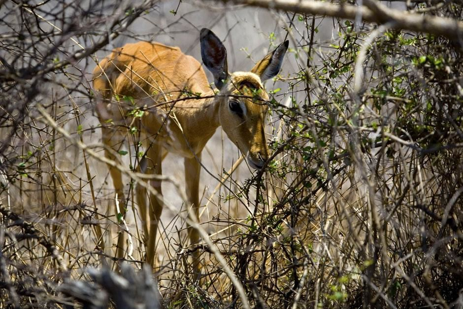 An extremely malnurished impala grazes on the winter's leftovers. This image is from Safari Live. [Photo of the day - May 2013]