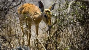 An extremely malnurished impala grazes on the winter's leftovers. This image is from Safari Live. תמונת היום - 25 מאי 2013