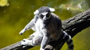 Ring-tailed lemur. This image is from Zoo Juniors. תמונת היום - 26 מאי 2013