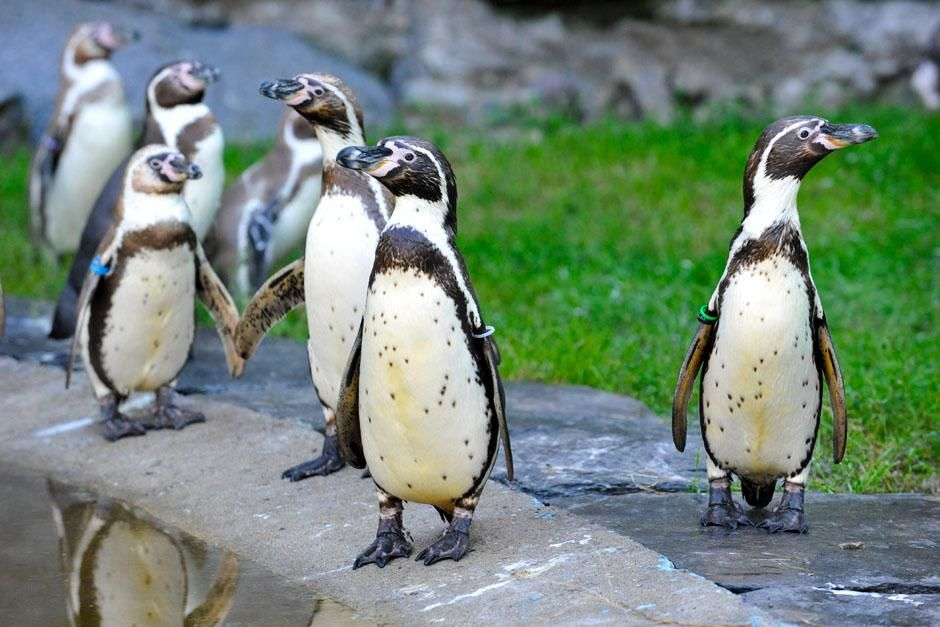 Penguins in a zoo in Berlin. This image is from Zoo Juniors. [Photo of the day - May 2013]