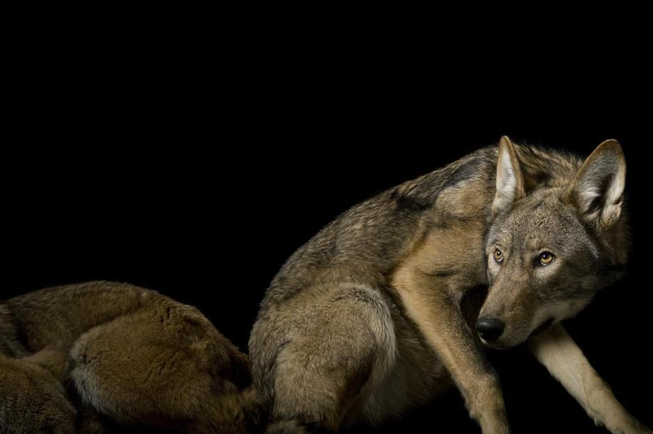 A pair of red wolves, in the Great Plains Zoo, Sioux Falls, South Dakota. USA. [Photo of the day - November 2011]