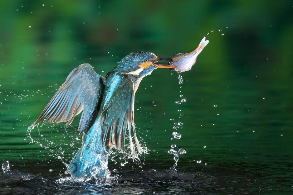 Female common kingfisher with an amur bitterling in Labod. Hungary. [Dagens billede - november 2011]