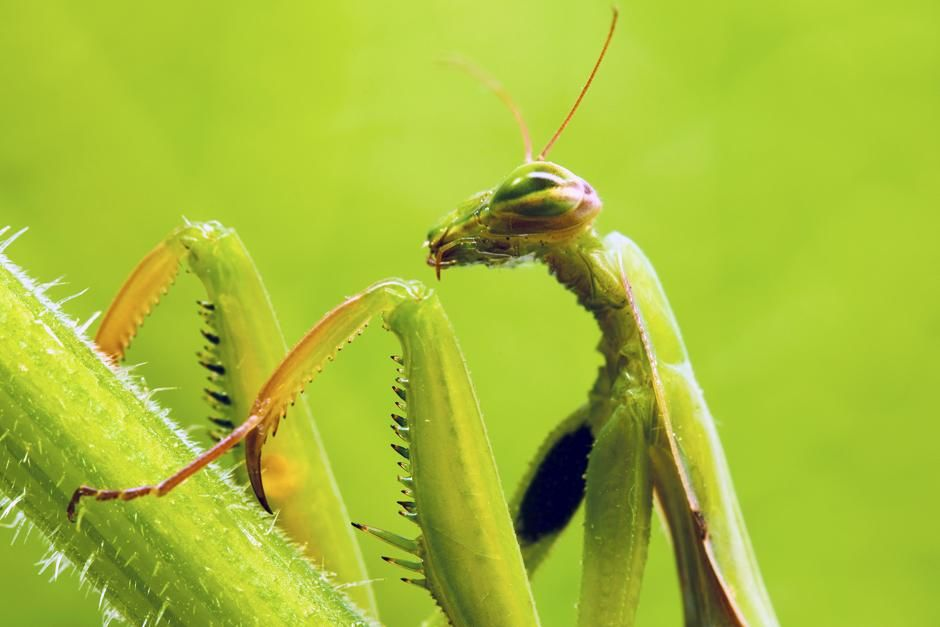 Seville, Spain: Praying mantis (Mantis religiosa). This image is from Ultimate Animal Countdown.. [Photo of the day - ژوئن 2013]