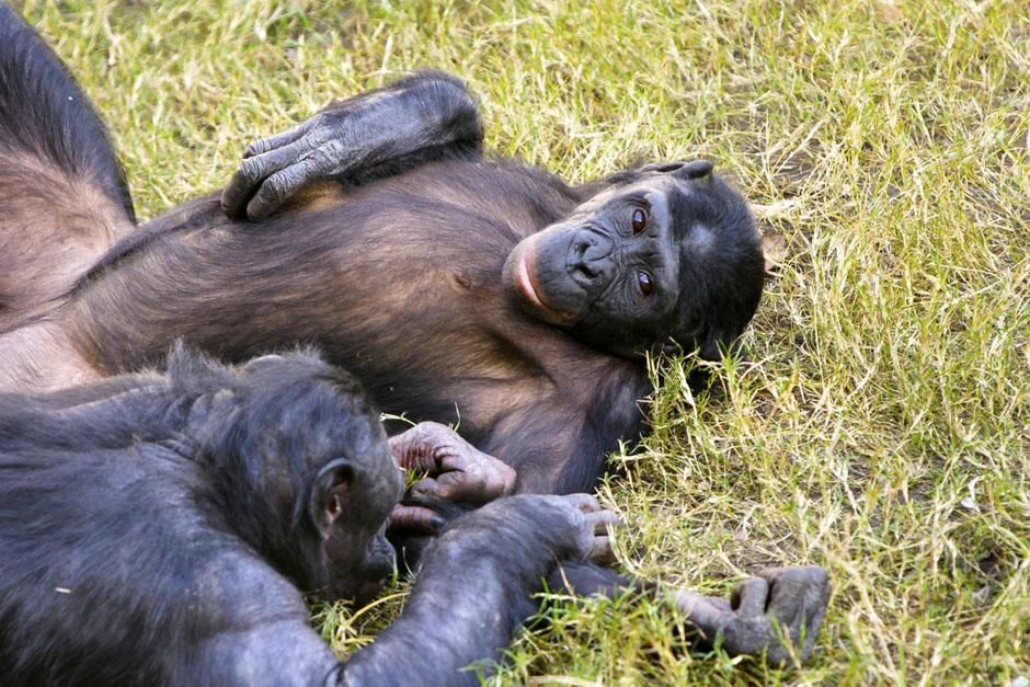 Kakopori Bonobo Reserve, DRC: Bonobo (Pan paniscus). This image is from Ultimate Animal Countdown. [Photo of the day - June 2013]