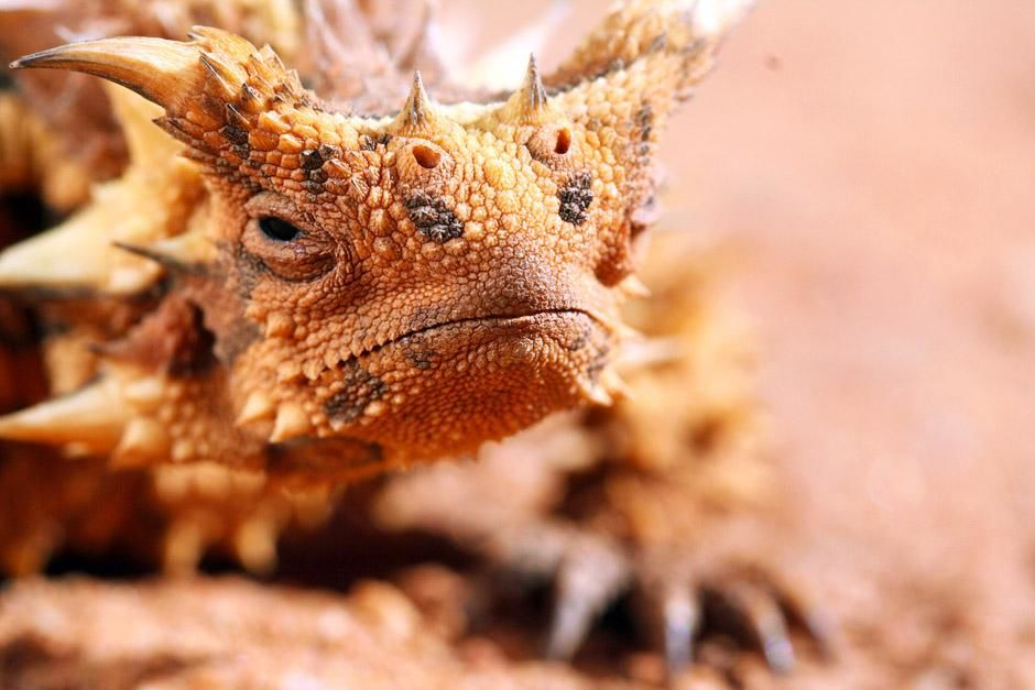 Alice Springs, Australia: Horned lizard (Moloch horridus). This image is from Ultimate Animal... [Photo of the day - June 2013]