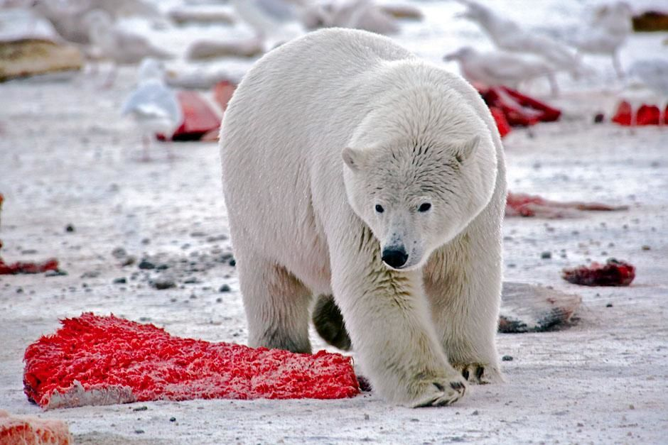 Kaktovik, Alaska, USA: A polar bear surrounded by discarded bowhead whale meat. This image is... [Photo of the day - ژوئن 2013]