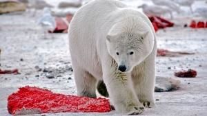 Kaktovik, Alaska, USA: A polar bear surrounded by discarded bowhead whale meat. This image is fro... Photo of the day - 18 June 2013
