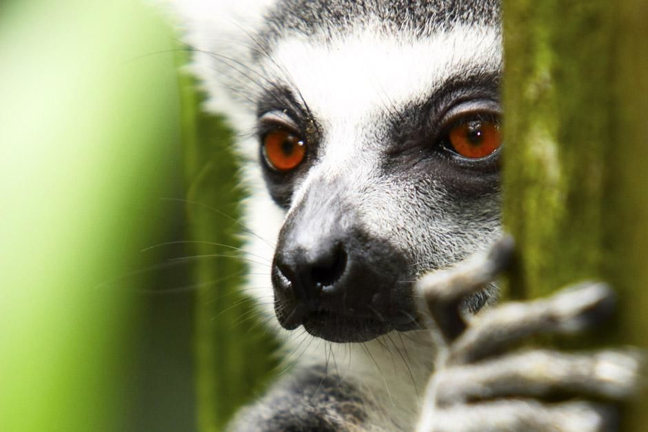 Berenty Reserve, Madagascar: Ring-tailed lemur (Lemur catta). This image is from Ultimate Animal... [Photo of the day - ژوئن 2013]