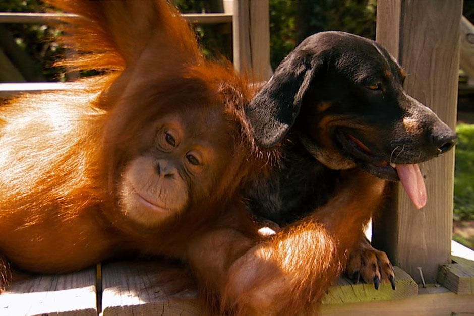 Africa: Suryia the orangutan hugging Roscoe the hound dog. This image is from Unlikely Animal... [Photo of the day - ژوئن 2013]