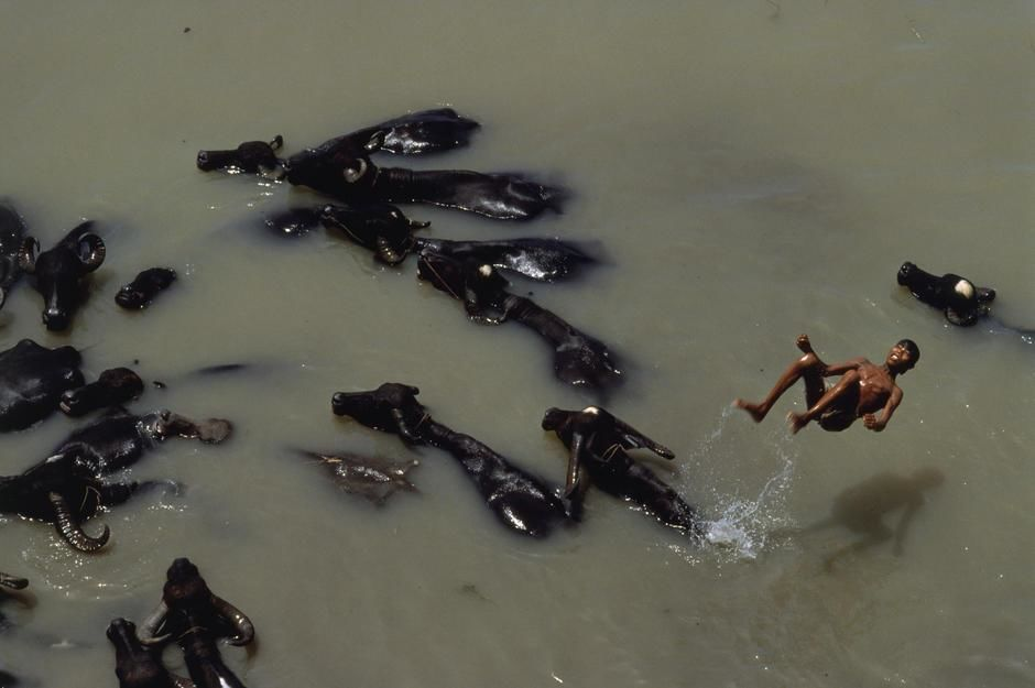 A young herder backflips off a water buffalo into the Turag River, West of Dacca. Bangladesh. [Dagens billede - november 2011]