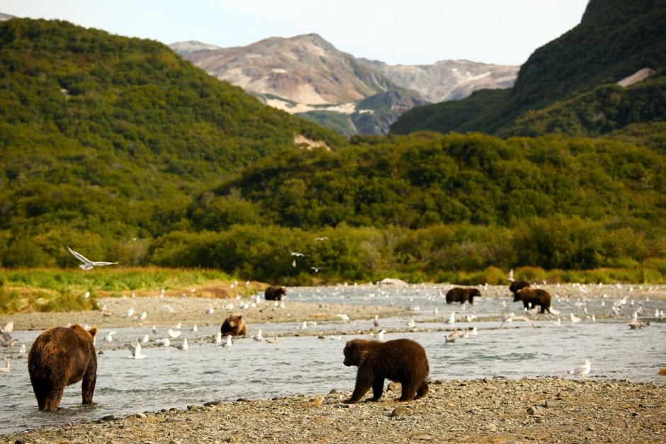 Alaskan Peninsula, Alaska, USA: During salmon season, brown bears fish at the river mouth. This... [Photo of the day - July 2013]