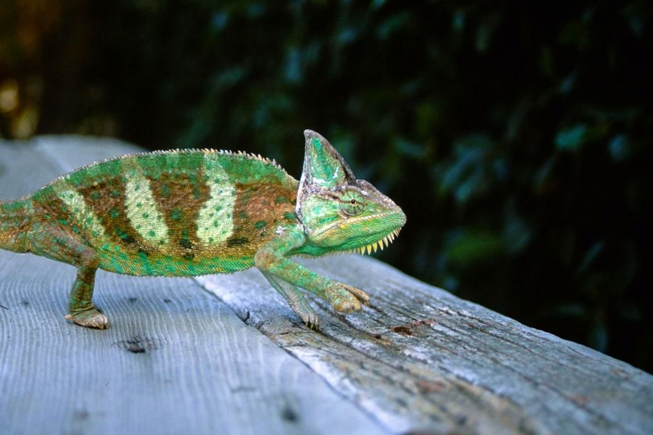 Andasibe-Mantadia National Park, Madagascar: Panther chameleon (Furcifer pardalis). This image is... [Photo of the day - July 2013]